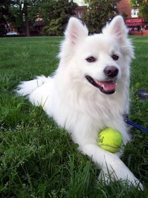 american_eskimo_dog1
